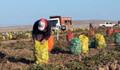 Ahlat'ta patates hasadı başladı