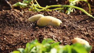 Çukurovalı çiftçiler patatesi tarlada bekletiyor