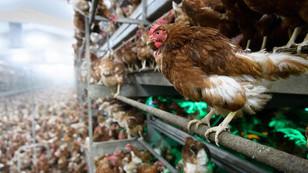 Bulgaristan'da kuş gribi alarmı