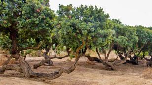 İzmir'de 'sakız ormanı' oluşturulacak