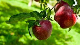 Depoda elma kalmadı, fiyat tırmandı