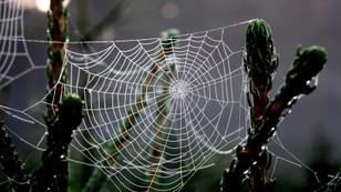 Bir tutam örümcek DNA'sı ve bir tutam maya ile ipek üretti