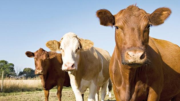 Devlet, 500 bin baş sığır ithal edecek