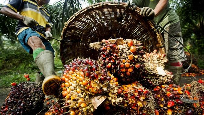 Malezya'da palm yağı üretimi düştü