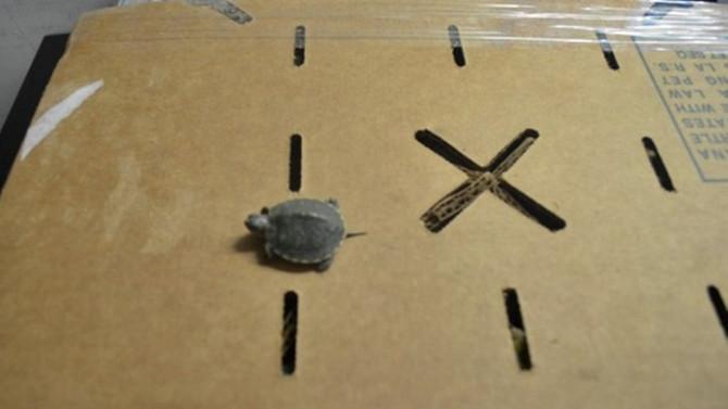 Kaplumbağalar gümrüğe takıldı