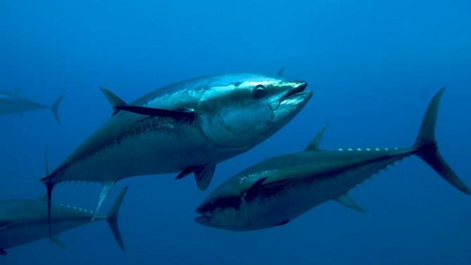 Mavi yüzgeçli orkinos avcılığına düzenleme