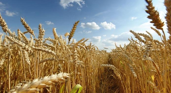 Buğdayda kuraklığa karşı sigorta güvencesi