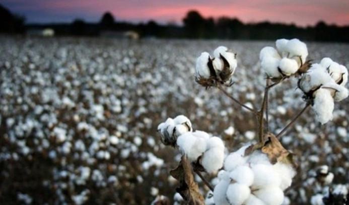 Iğdır'da çeyrek asır sonra pamuk yetiştirilmeye başlandı