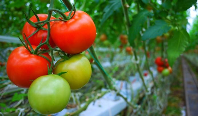 Rus çiftçiler domates yasağının kalkmasını istemiyor