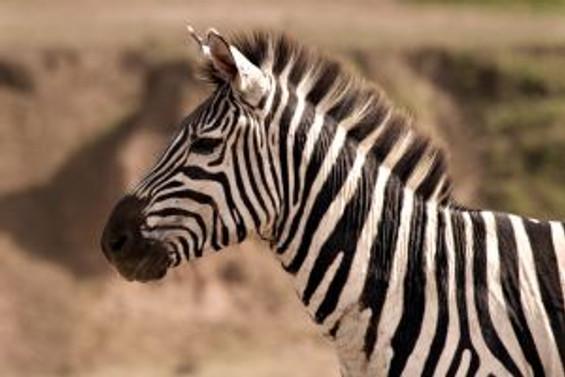 Hadi zebra avına!