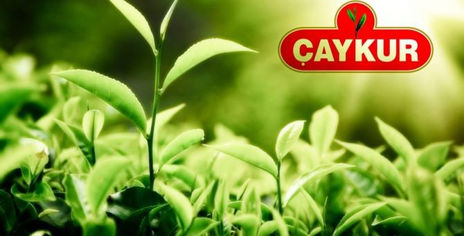 Çaykur, 230 bin ton yaş çay aldı