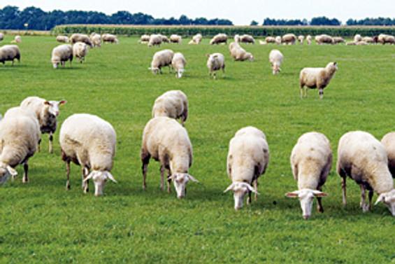 Koyun işletmelerine hibe desteği
