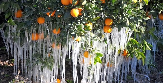 Don zararı birçok ilde meyve ağaçlarını vurdu