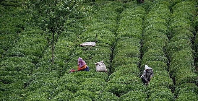 Yaş çayda 1,2 milyon tonluk üretim beklentisi