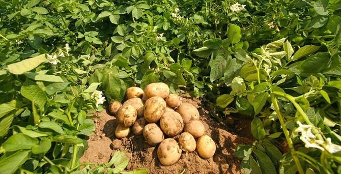 Patates fiyatı maliyetinin altına düştü