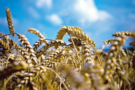 """İngiliz bilim adamları """"süper buğday"""" geliştirdi"""