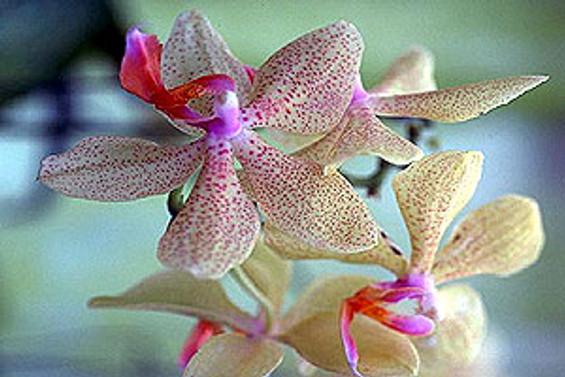 Yasaklı 'çiçek soğanı' türleri belirlendi