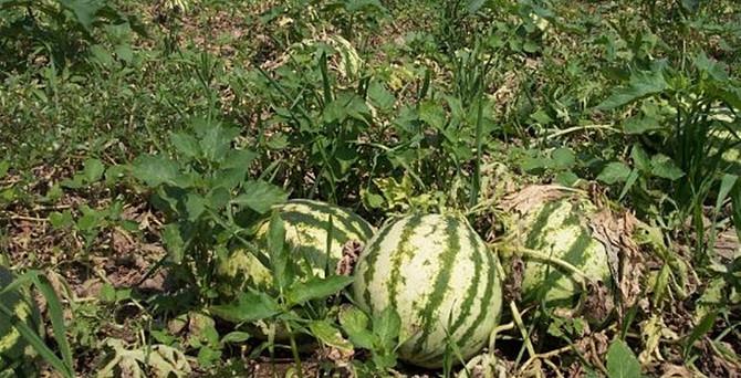 Karpuz hasadı Adana'da kıyı kesimlerinde başladı