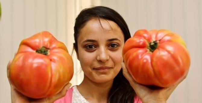 Dev domatesler elde kaldı