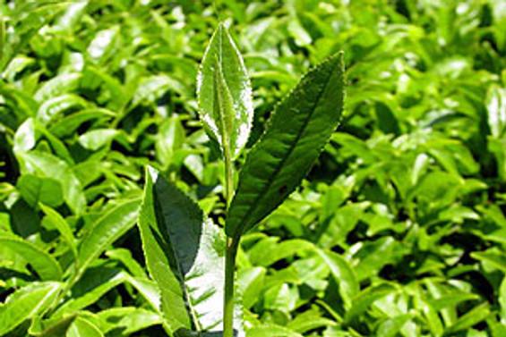 ÇAYKUR, 190 bin ton yaş çay aldı