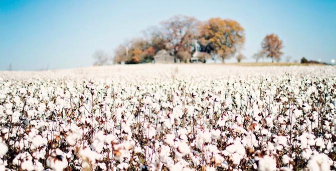 Türkiye üçüncü büyük pamuk ithalatçısı ülke oldu