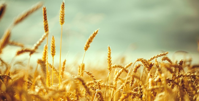 Makarnalık buğday üretiminde Türkiye 4. sırada