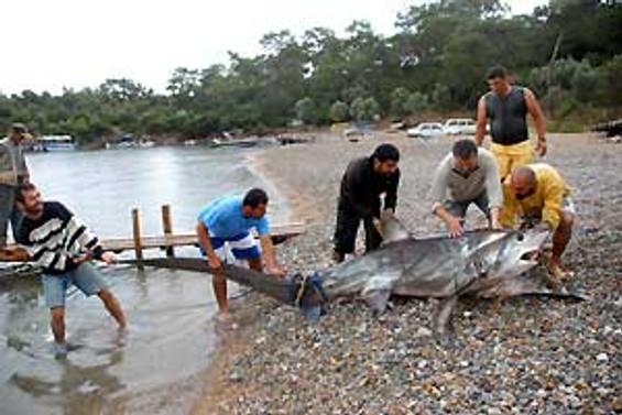 Ağlara 350 kiloluk köpek balığı takıldı