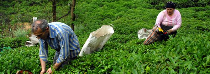 Yaş çayda yüzde 300 ihracat artışı yaşandı