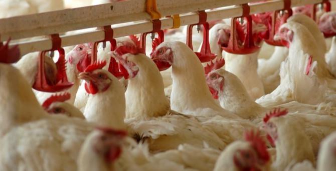 Bakanlık'tan 'zehirli tavuk' iddialarına yanıt