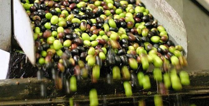 Zeytin üretiminde düşüş bekleniyor