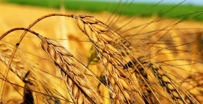 Dünya buğday stokları büyüyor