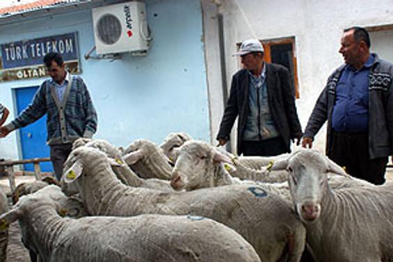 Kurbanlık koyun ithalatı şartları belirlendi