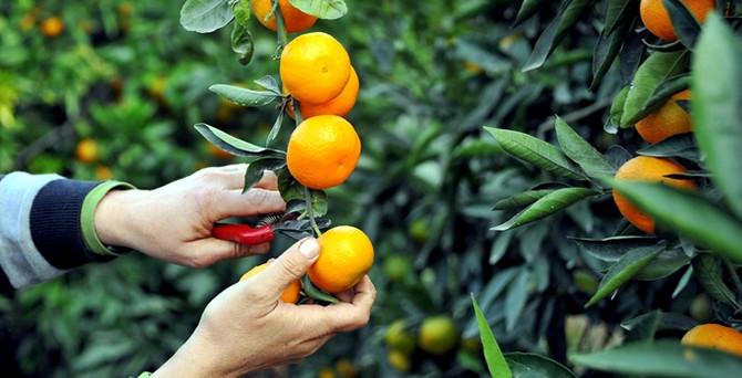 Rus kısıtlaması, sebze ve meyveyi yüzde 30 ucuzlattı