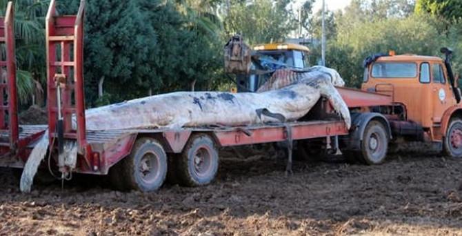 Hatay'da 12 metrelik balina iskeleye vurdu