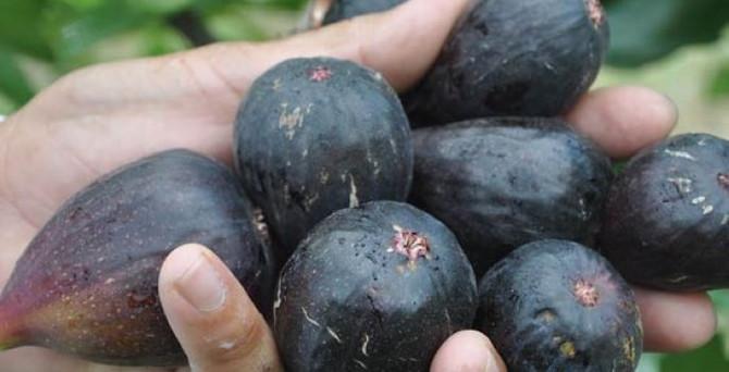 """Bursa Valiliğinden """"siyah incir"""" genelgesi"""