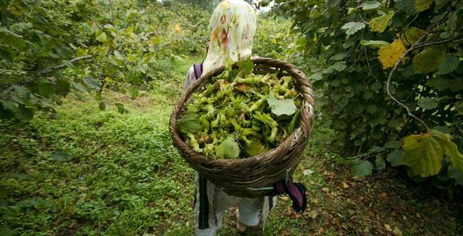 Çay ve fındık bahçeleri yenileniyor