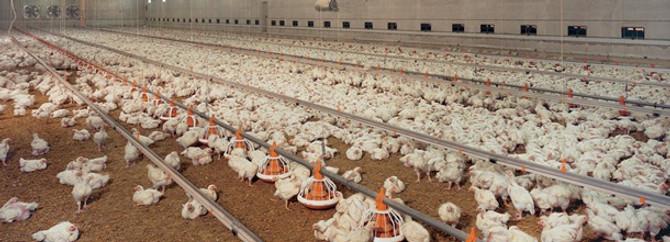 Martta 87 milyon tavuk kesildi