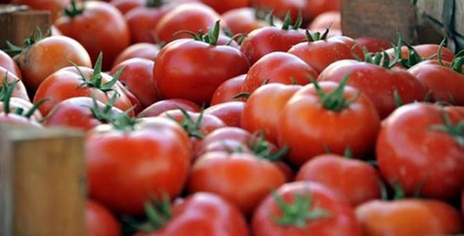 Salçalık domateste hasat zamanı