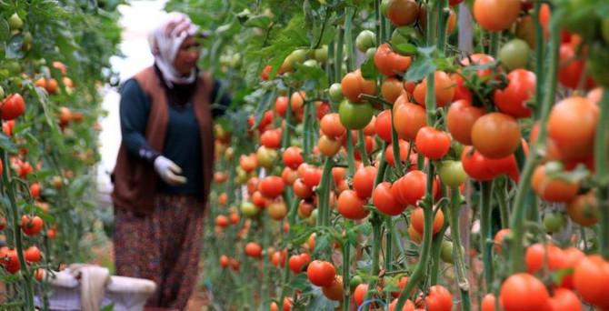 Salçalık domates üreticisi hasada zararla başladı