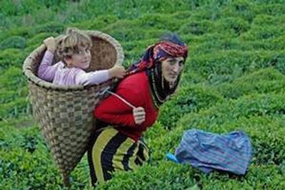 ÇAYKUR, 87 bin 500 ton yaş çay aldı