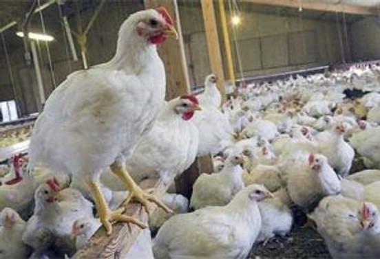 TİKA'dan Türkmenistan'a tavukçuluk tesisi