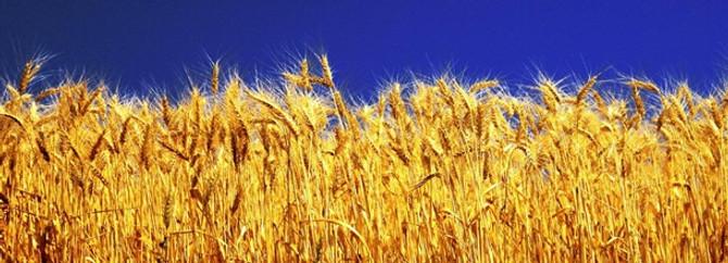 Nisan yağmurları buğday rekoltesini artıracak