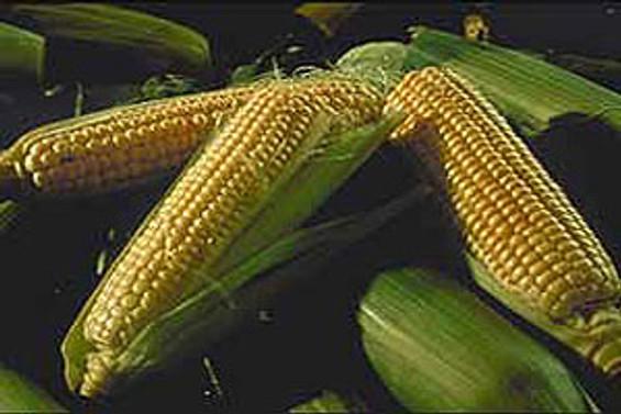 TMO, 50 bin ton mısır ihracı için ihale açtı