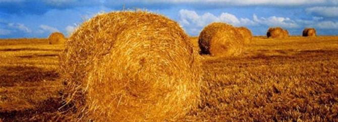 Saman fiyatındaki artış üreticiyi buğdaya yönlendirdi
