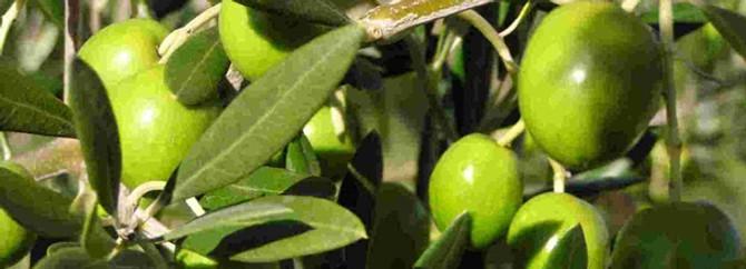 Zeytin ihracatında artış yüzde 11