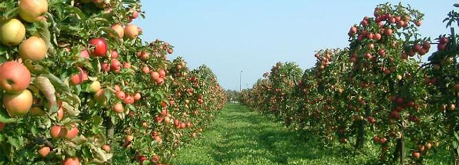 Niğde elmanın başkenti olacak
