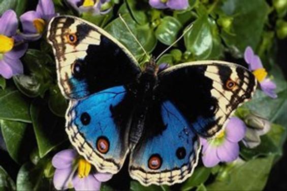 Kelebeklerin ömrü bir gün değil!