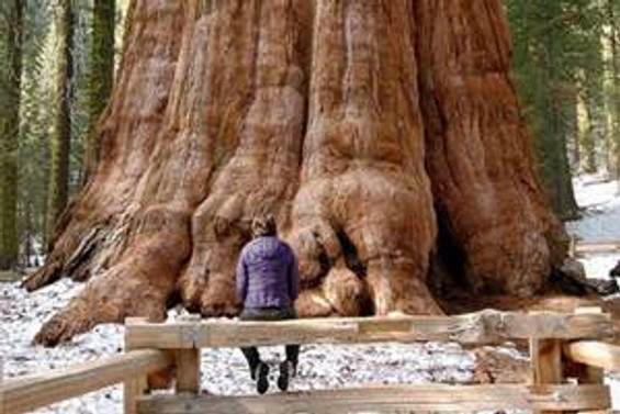 Dünyanın en büyük ağaçları ölüyor