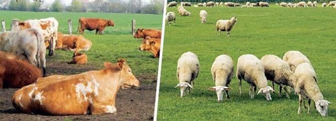 Hayvancılık desteklerinde 25,5 kat artış