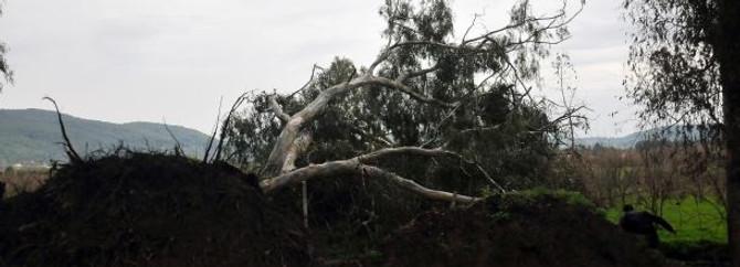Fırtına 75 yıllık ağaçları devirdi